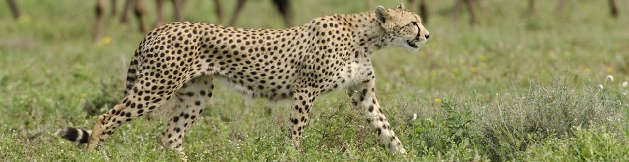Africa, South Africa, Cheetah in Serengeti National Park
