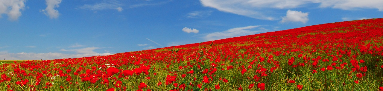 France Provence Poppy Fields